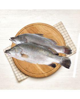 Barramundi Fish Per 2 KG  ڈانگڑی