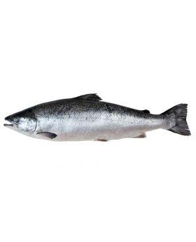 Indian Solman Fish Black 2 KG  کالا رواس